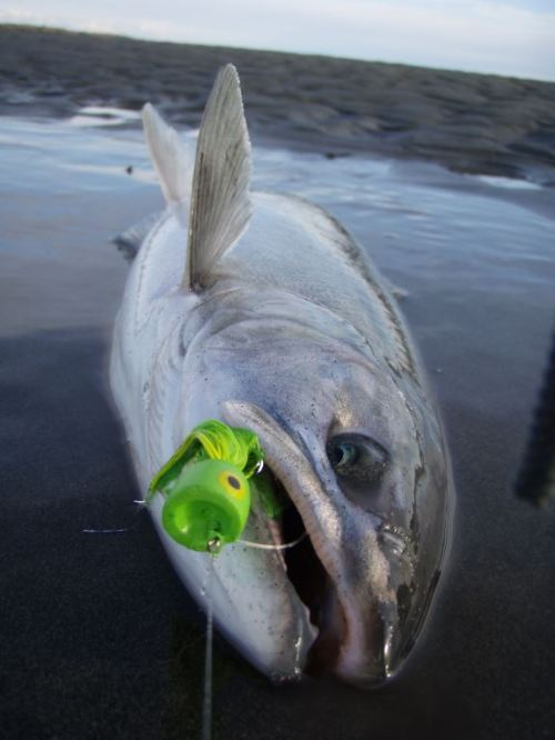 Silver salmon on a green surface bass popper