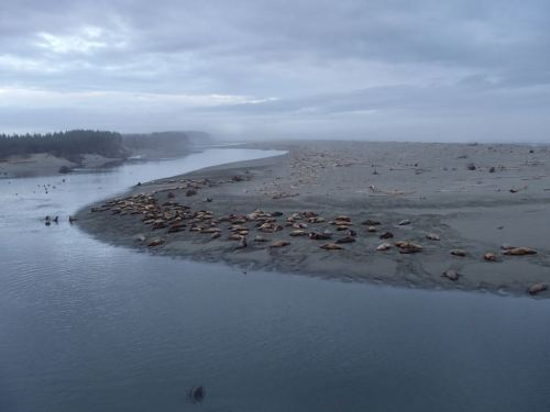 One of two groups of sea lions,  fat and feeding on the eulachon run at the Akwe Mouth