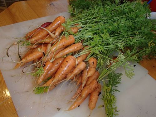 Back at the hangar,  time to harvest our carrots before they start to rot in the ground