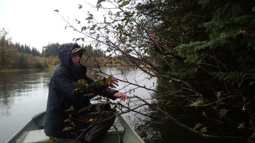 During a break,  Chris and Tanis motored up to the Spruce Hole to clean the branches off
