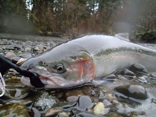 One of Chris' many steelhead on that damn Dolly Llama