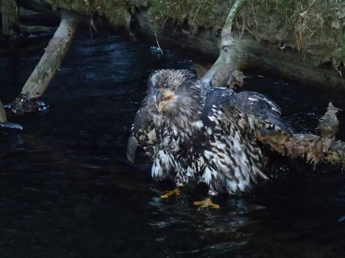 Chris took this photo of a juvenile bald eagle during the winter steelhead run,  who got himself soaked in the Situk and couldn't fly - ice forming on his wings and no way to help the poor doomed bird