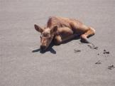 Moose Calf_2