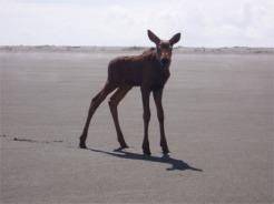 Moose Calf_5