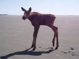 Moose Calf_3