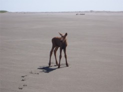 Moose Calf_4